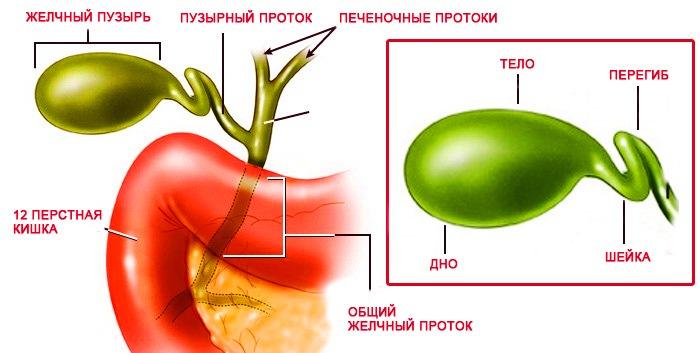 Перетяжка желчного пузыря — сужение органа по всему диаметру